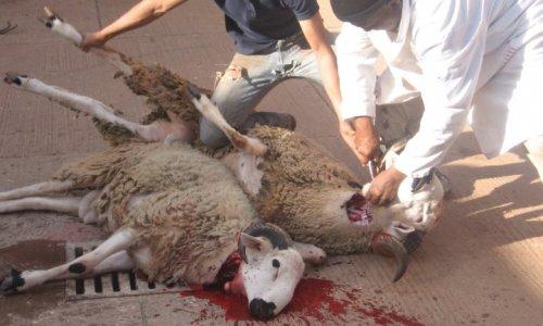 Pétition : Pour l'interdiction totale de l'abattage rituel dans les abattoirs en France !