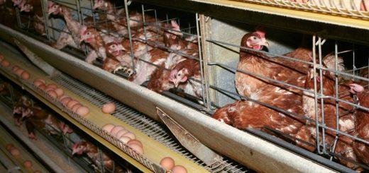 (VIDÉO CHOC) – Vous ne voulez pas manger des œufs de poule élevée en cage et bien, sachez que vous en mangez quand même sans le savoir !