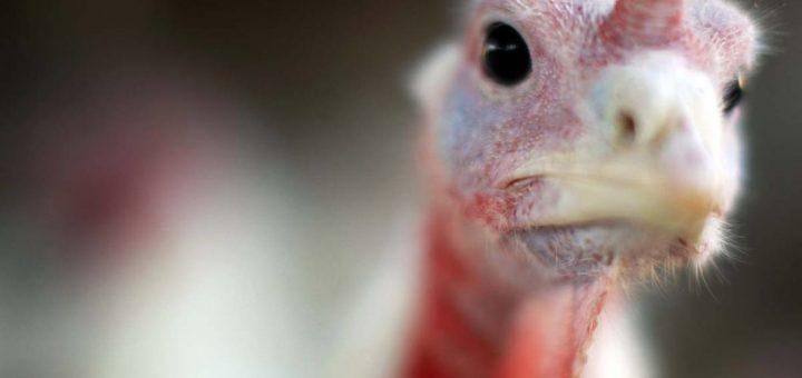 Pétition : Non à l'importation en France des poulets au chlore et des boeufs aux hormones provenant des Etats-Unis !
