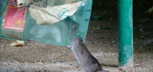 (VIDÉO) - Les rats envahissent Paris jusqu'aux pieds de la tour Eiffel !