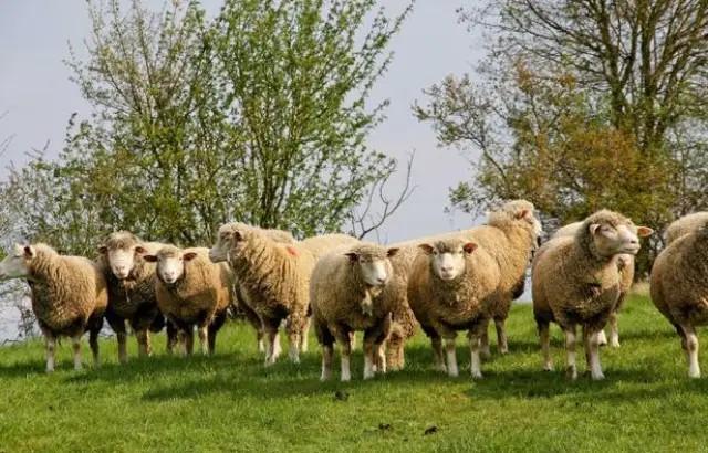 « On se fait piller ! » : Les vols de moutons explosent en France durant le ramadan !