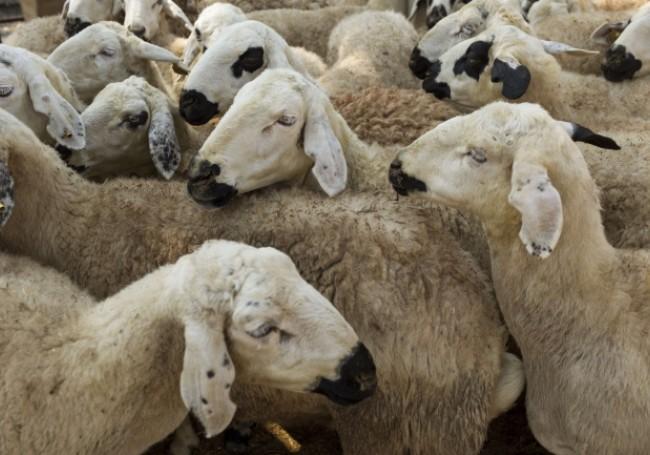 Fête de l'Aïd : 53 moutons morts retrouvés flottant dans le Rhône !